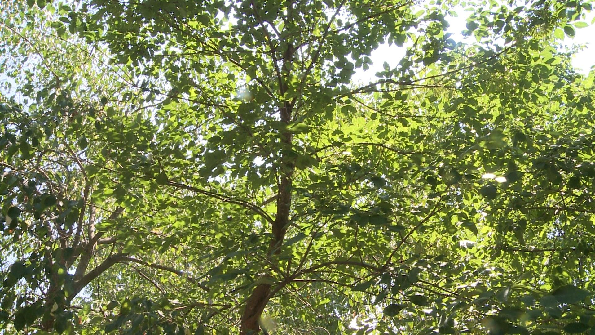 Rockford aims to plant more trees this fall to make city for Garden city trees